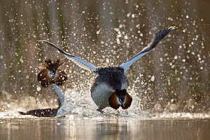Great crested grebe (Podiceps cristatus) adult running over the water surface during the courtship. The Netherlands. April 2014.Second place in the Species Story category of the Terre Sauvage Nature I...  -  David  Pattyn