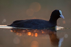 Coot (Fulica atra) adult close-up. Backlit at dawn. The Netherlands. April 2014  -  David  Pattyn
