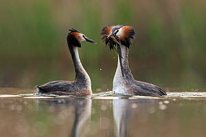 Great crested grebe (Podiceps cristatus) pair performing their 'weed dance' during the courting or mating season. The birds offer each other plant material as a present to confirm their bond. The Neth...  -  David  Pattyn