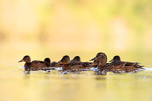 Mallard (Anas platyrhynchos) female and young. The Netherlands. May 2014 - David  Pattyn