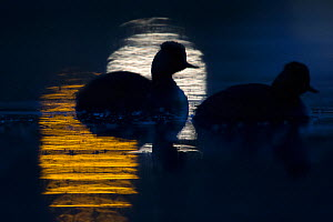 Black necked grebe (Podiceps nigricollis) pair silhouetted at night, with lights from city reflected in water, The Netherlands.May 2014 - David  Pattyn