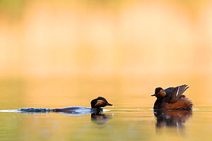 Black necked grebe (Podiceps nigricollis) pair courting. One bird is waiting with the wings spread while the other one is submerged and approaching. The Netherlands.May 2014  -  David  Pattyn