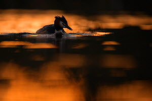 Great crested grebe (Podiceps cristatus) backlit adult bird at dawn. The Netherlands.May 2014  -  David  Pattyn