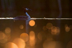 Great crested grebe (Podiceps cristatus) adult bird backlit with bokeh affect in foreground, The Netherlands.May 2014  -  David  Pattyn