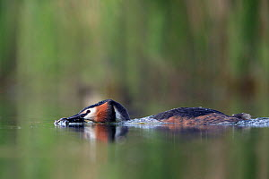 Great crested grebe (Podiceps cristatus) adult bird approaching its partner with plant material to perform their 'weed dance'. Mating season. The Netherlands.May 2014  -  David  Pattyn