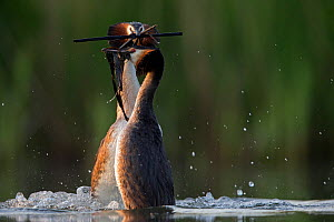 Great crested grebe (Podiceps cristatus) pair performing their spectacular 'weed dance' during the courting or mating season. The birds offer each other plant material as a present to confirm their bo... - David  Pattyn