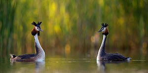 Great crested grebe (Podiceps cristatus) courting pair. The Netherlands.May 2014  -  David  Pattyn