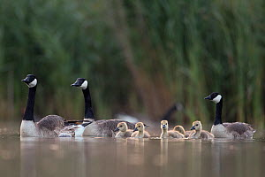 Canada goose (Branta canadensis) group of adults with young chicks. The Netherlands. June 2014 - David  Pattyn