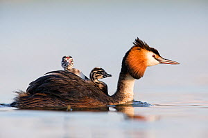 Great crested grebe (Podiceps cristatus) close-up of an adult with two young chicks. The Netherlands. June 2014 - David  Pattyn