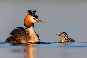 Great crested grebe (Podiceps cristatus) adult with a young chick on the back and another chick in the water. The Netherlands.June 2014  -  David  Pattyn