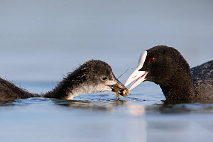Coot (Fulica Atra) female feeding its chick. The Netherlands. June 2014  -  David  Pattyn