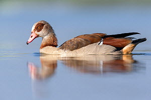 Egyptian goose (Alopochen aegyptiacus) portrait. The Netherlands. June 2014  -  David  Pattyn