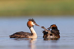 Great crested grebe (Podiceps cristatus) pair with chicks on the back of one begging for food, The Netherlands. June 2014  -  David  Pattyn