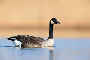 Canada goose swimming portrait (Branta canadensis) The Netherlands. March 2013. - David  Pattyn