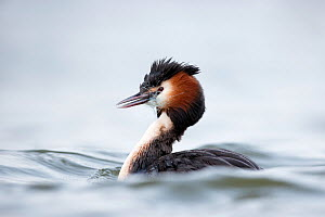 Great crested grebe (Podiceps cristatus) with discarded fishing net around the neck. The Netherlands. April. - David  Pattyn
