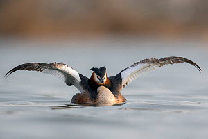 Great crested grebe (Podiceps cristatus) stretching its wings. The Netherlands. April. - David  Pattyn