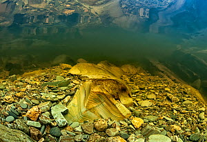 Underwater view of eroded bedrock and gravel in the River (Afon) Mawddach, near Dollgelau. The gravel in this river is used by spawning Salmon and contains gold. Wales, August 2013.  -  Graham  Eaton