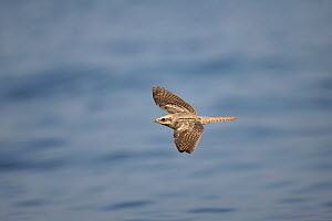 European nightjar (Caprimulgus europaeus) in flight over the ocean, during autumn migration, Oman, October. - Hanne & Jens Eriksen