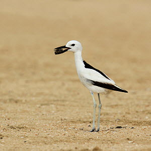 Crab plover (Dromas ardeola) with food for chick, Oman, June.  -  Hanne & Jens Eriksen
