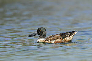 Northern shoveler (Anas clypeata) male on water in eclipse plumage, Oman, December.  -  Hanne & Jens Eriksen
