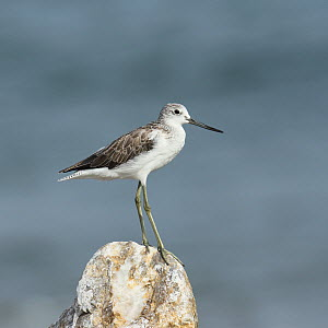 Common greenshank (Tringa nebularia) perched on rock, Oman, August. - Hanne & Jens Eriksen