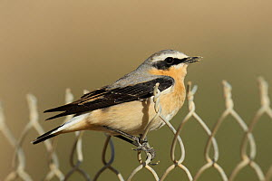 Northern wheatear (Oenanthe oenanthe) male perched during migration, Oman, April.  -  Hanne & Jens Eriksen