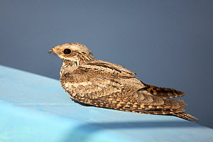 European nightjar (Caprimulgus europaeus) at rest on boat at sea, during autumn migration, Oman, October. - Hanne & Jens Eriksen