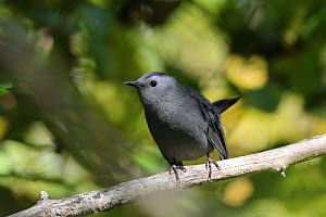 Grey catbird (Dumetella carolinensis) on branch, Massachusetts, USA, October. - Hanne & Jens Eriksen