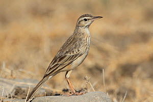 Long billed pipit (Anthus similis) on rock, Oman, February.  -  Hanne & Jens Eriksen