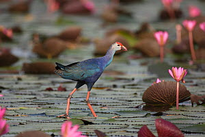 Purple swamphen (Porphyrio porphyrio) walking on lily pads (Nymphaeaceae), Thailand, February.  -  Hanne & Jens Eriksen