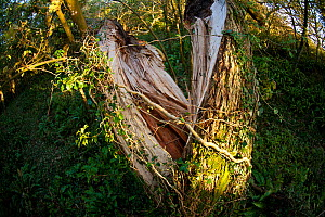 Ash tree (Fraxinus excelsior) trunk split open by gale force winds, Oxwich Bay Nature Reserve, Gower peninsula, Wales, UK, October. - John Waters