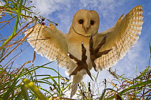 Barn Owl (Tyto alba) hunting/hovering, Somerset, UK, trained bird. - John Waters