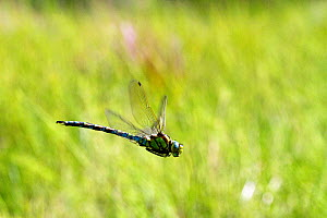 Migrant hawker dragonfly (Aeshna mixta) in flight  over pond at West Harptree Woods, the Mendips, Somerset, UK, August. - John Waters