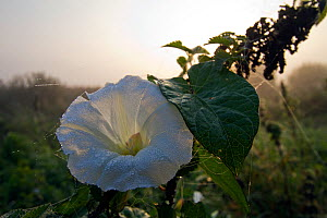 Great bindweed (Calystegia sepium), in flower, with dew drops, Somerset, UK, October. - John Waters