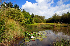 Small pond with aquatic and marsh plants, including European White Waterlily (Nymphaea alba), West Harptree woods, Mendip Hills, Somerset, UK, August.  -  John Waters