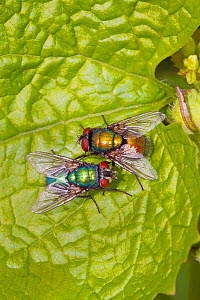 Greenbottles (Lucilia Sp) mating pair showing colour variation, Ladywell Fields, Lewisham, London, England, UK. April  -  Rod Williams