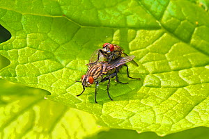 Flesh Flies (Sarcophaga sp) Mating pair Ladywell Fields, Lewisham, London, England, UK. April - Rod Williams