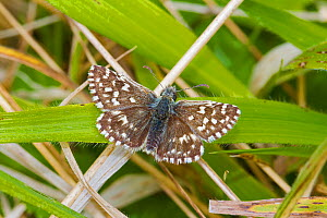 Grizzled skipper butterfly  (Pyrgus malvae) Hutchinson's Bank, New Addington, South London,  England, UK, Vulnerable Species May  -  Rod Williams