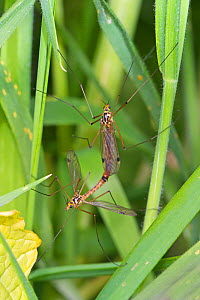 Spotted Crane-flies (Nephrotoma appendiculata) mating pair Ladywell Fields, Lewisham, London, England, UK. May - Rod Williams