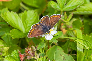 Female Brown argus butterfly  (Plebeius agestis) feeding on wild strawberry Hutchinson's Bank, New Addington, South London,  England, UK, May - Rod Williams