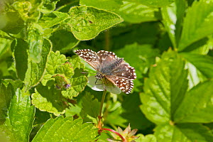 Grizzled skipper butterfly  (Pyrgus malvae)  on wild strawberry. Hutchinson's Bank, New Addington, South London,  England, UK, May. Vulnerable species.  -  Rod Williams