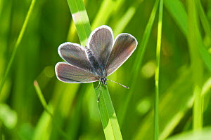 Male small blue butterfly (Cupido minimus) In dappled sunlight Britain's smallest butterfly Hutchinson's Bank, New Addington, South London,  England, UK, May  -  Rod Williams