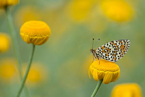 Lesser spotted fritillary (Melitaea trivia) adult at rest on yellow flower, Bulgaria.  -  Paul Hobson