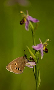 Ringlet butterfly (Aphantopus hyperantus) adult on bee orchid (Ophrys), Lincolnshire, Uk.  -  Paul Hobson