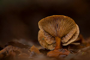 Russet toughshank (Collybia dryophila), Nottinghamshire, UK, November.  -  Paul Hobson