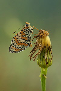Spotted fritillary (Melitaea didyma) adult at rest on seed head, Melnick, Bulgaria.  -  Paul Hobson