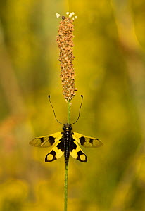 Owlfly (Libelloides macaronius) adult in grasses, Melnick Bulgaria.  -  Paul Hobson