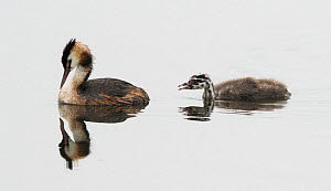 Great crested grebe (Podiceps cristatus) female on water with chick begging for food. Goettingen, Lower Saxony, Germany, July.  -  Roger Powell