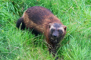 Wolverine (Gulo gulo) in long grass, Animal Park, Hann-Munden, Lower Saxony, Germany. Captive, occurs throughout the boreal zone of the northern hemisphere. - Roger Powell