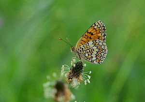 Heath Fritillary (Melitaea athalia) on plantain flower, Mercantour National Park, Provence, France, July.  -  Robert  Thompson